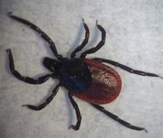 Adult female, Ixodes species tick (can transmit Lyme disease).